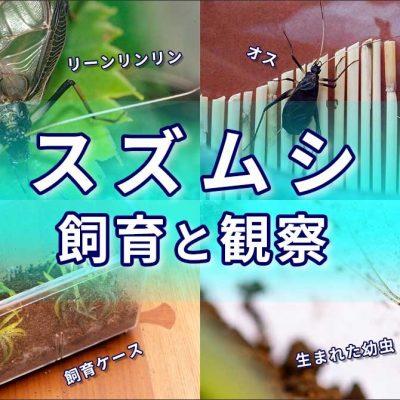 スズムシの飼育のバナー画像