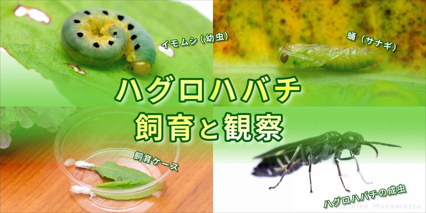 ハグロハバチの飼育バナー画像