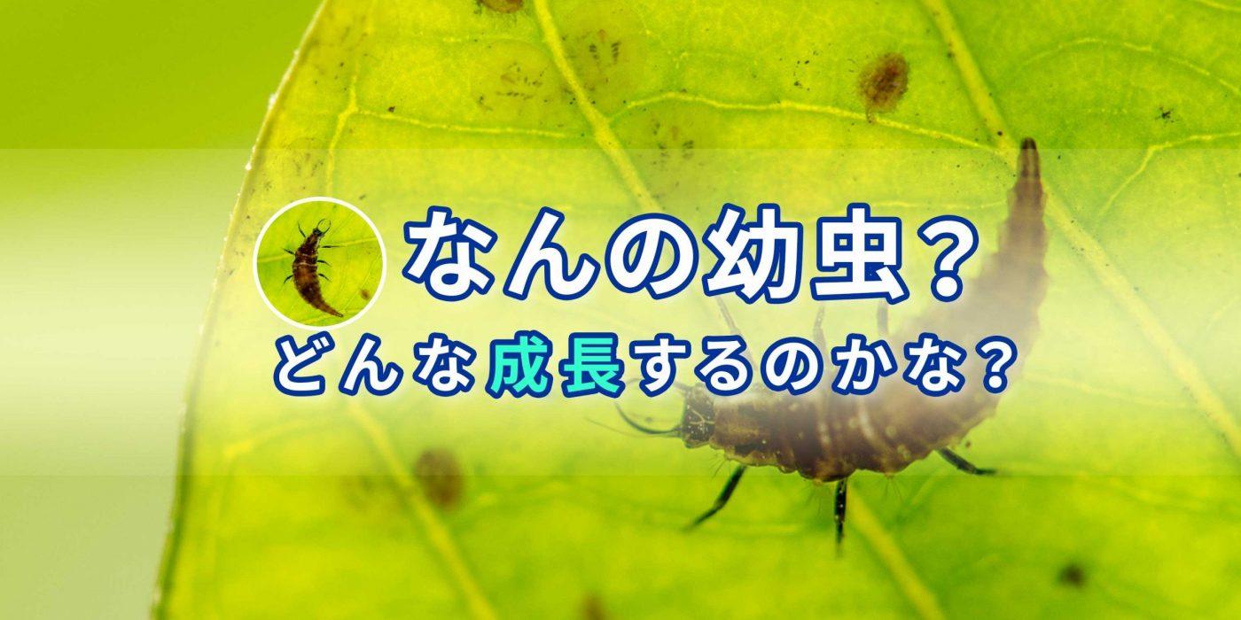 スズキクサカゲロウ飼育のバナー