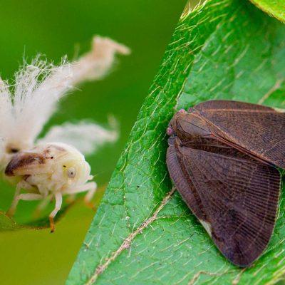 黒いハゴロモの一種 Pochazia shantungensisの写真
