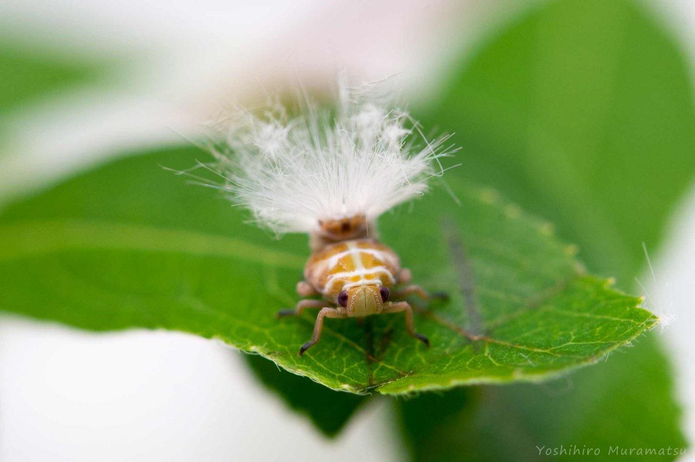 アミガサハゴロモの写真