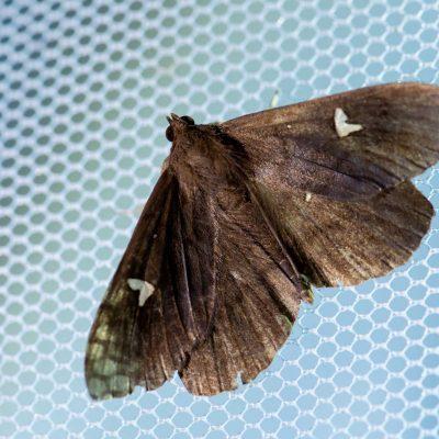 オオシラホシアツバの写真