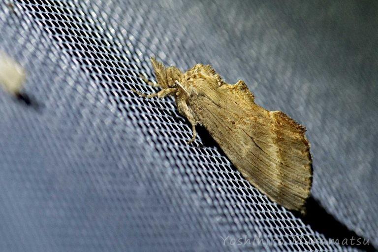 オオエグリシャチホコの写真