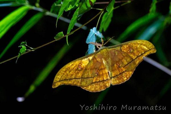ヤママユの写真