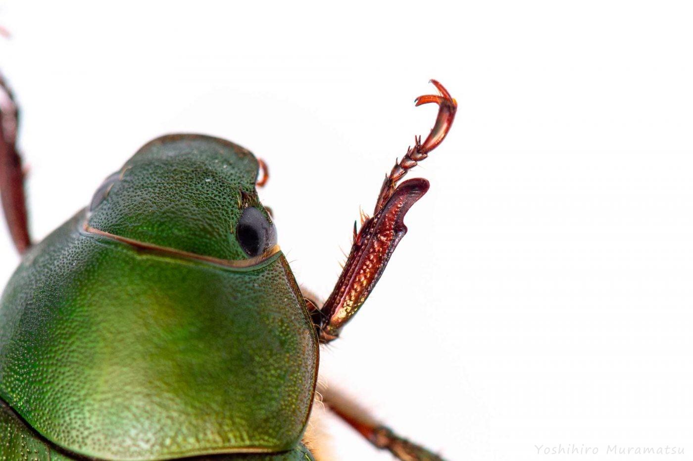 アオドウガネの写真