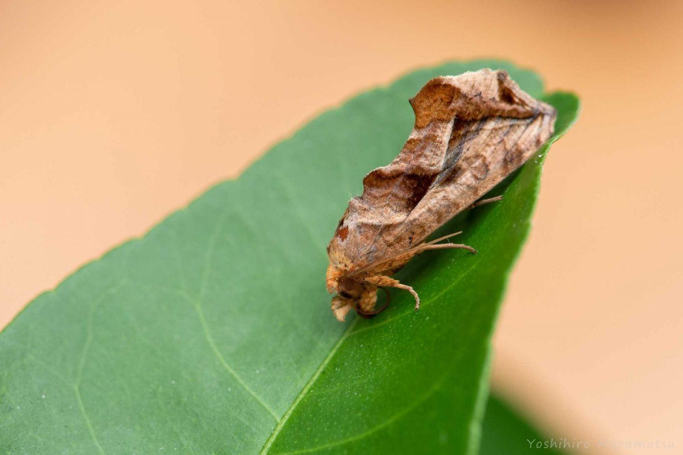 ヒメエグリバの写真