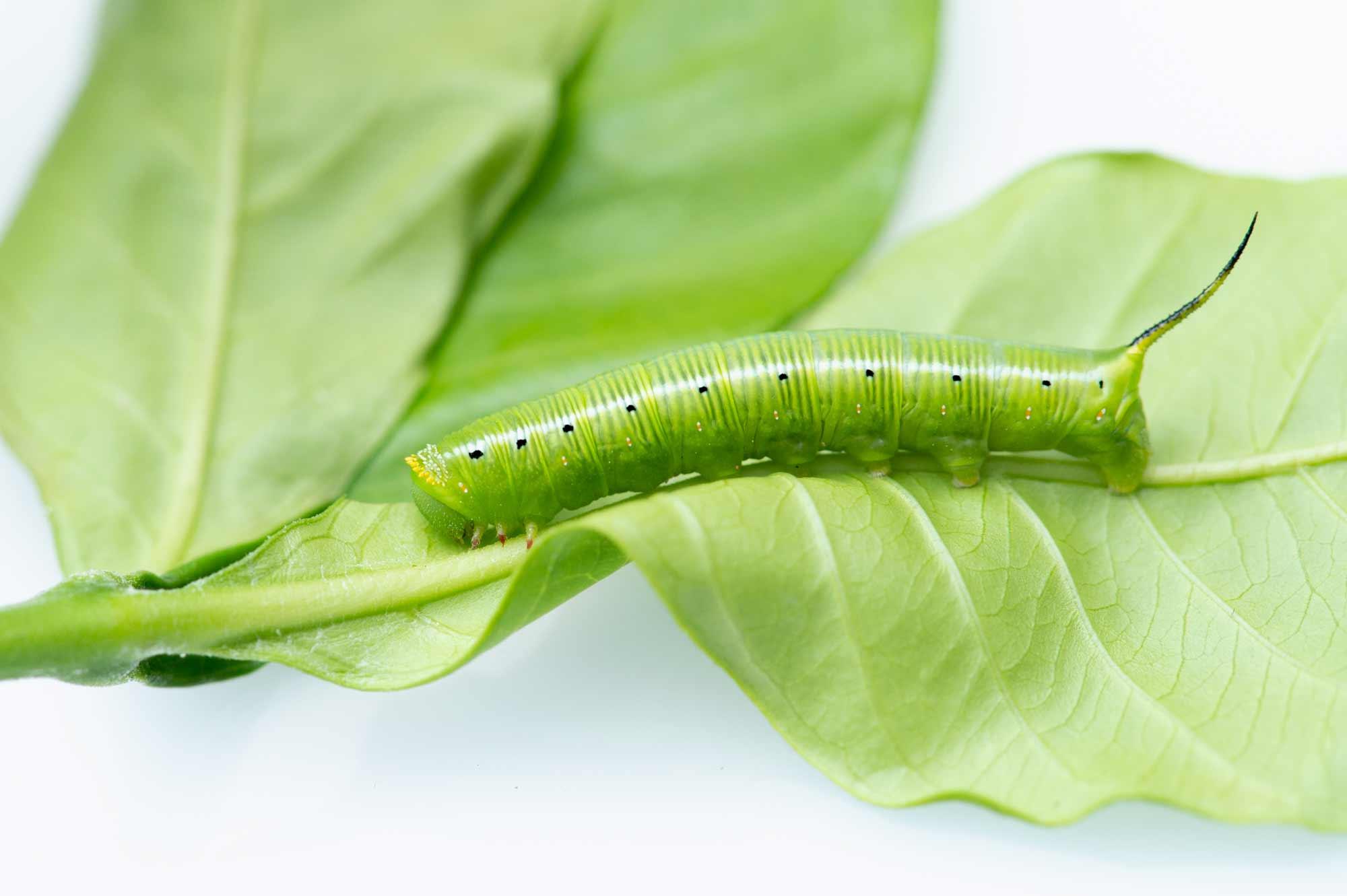 オオスカシバの幼虫の写真