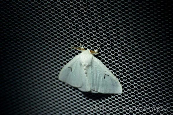 エルモンドクガの写真
