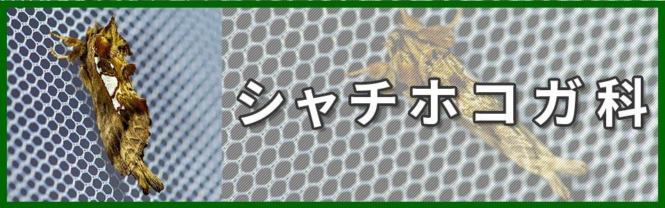 シャチホコガ科バナーの画像