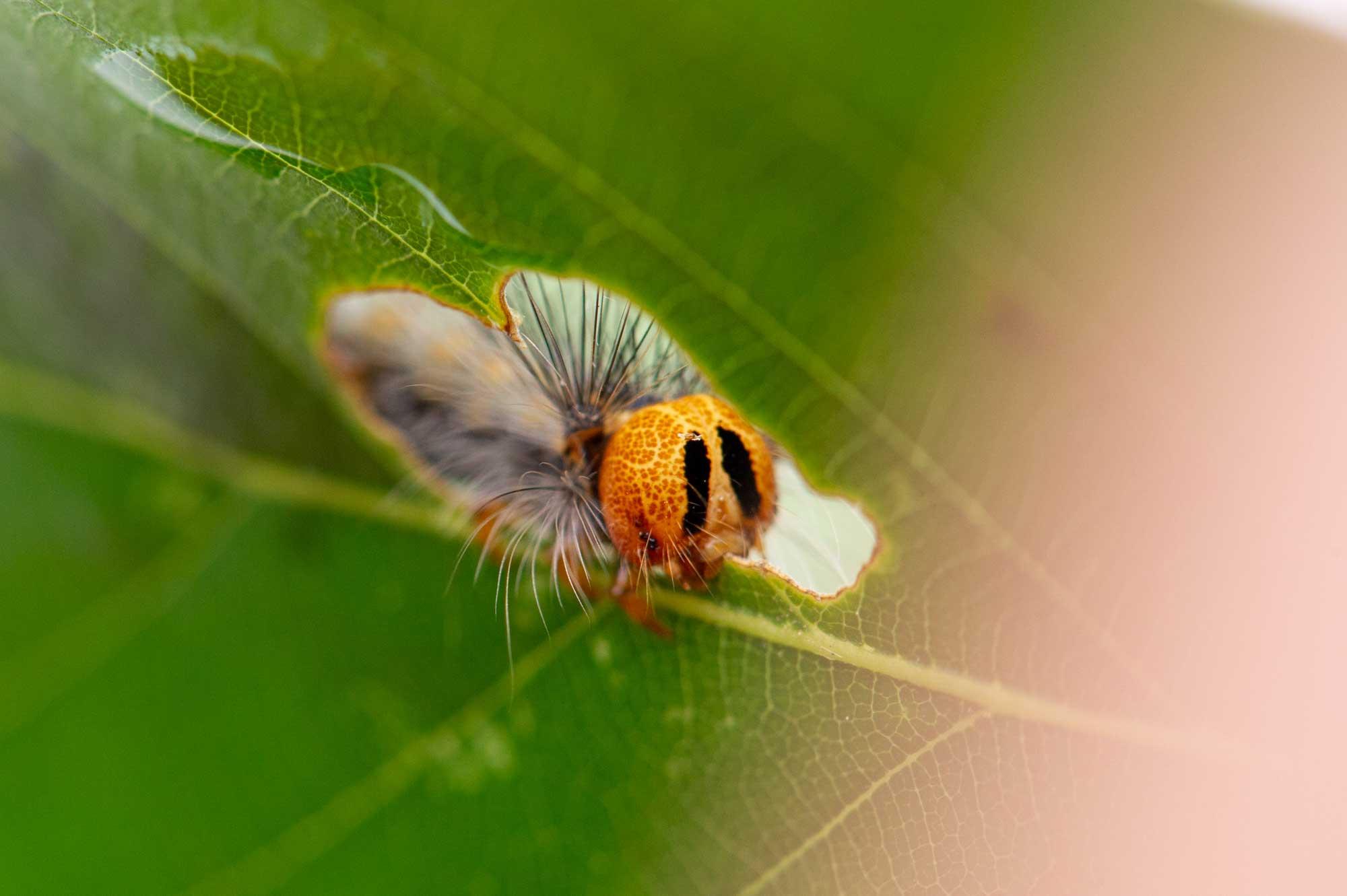 マイマイガの幼虫の写真