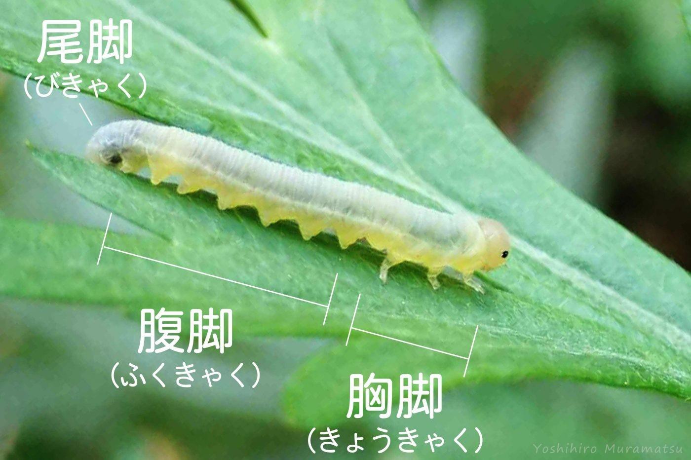 ハバチの幼虫、胸脚、腹脚、尾脚の画像