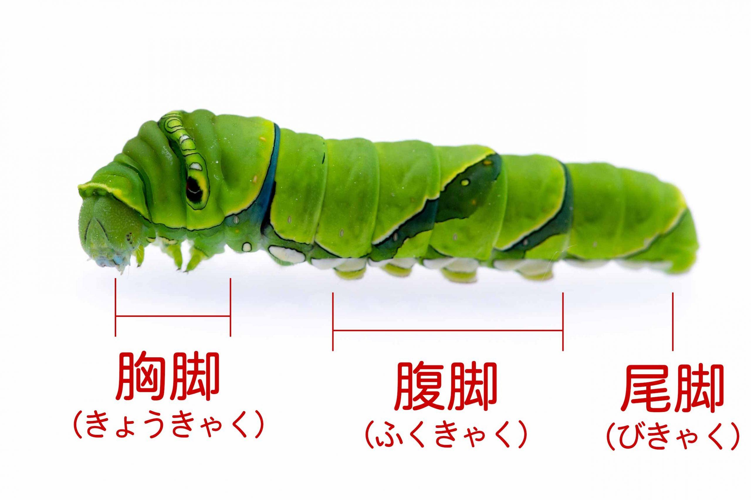 アゲハの幼虫、胸脚、腹脚、尾脚の画像