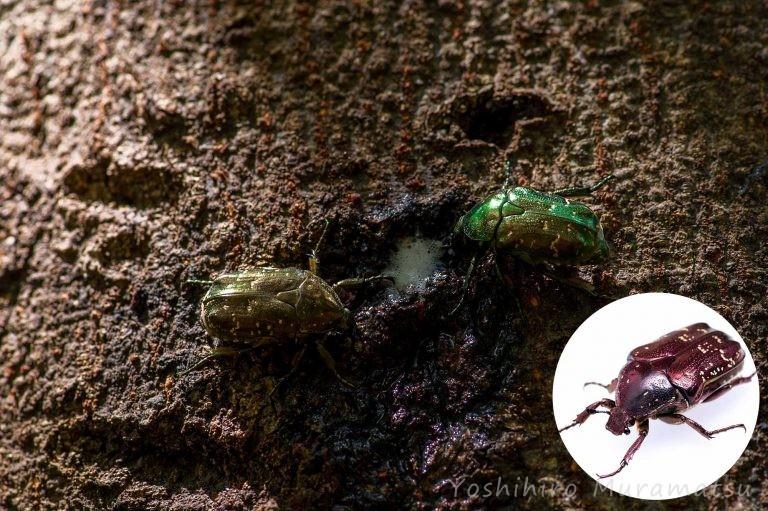 シロテンハナムグリの写真