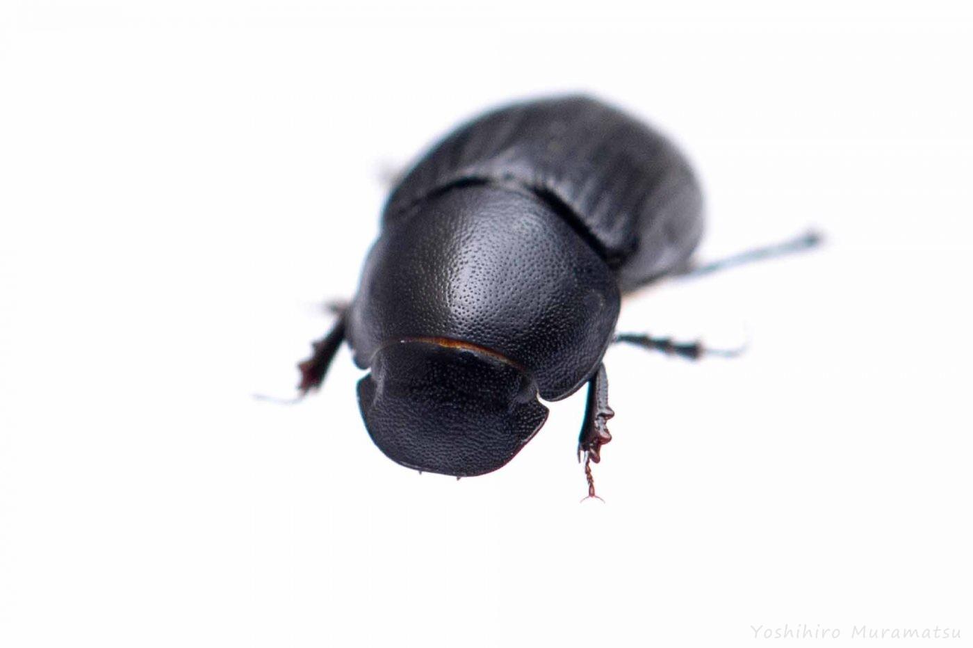 クロツヤマグソコガネの写真