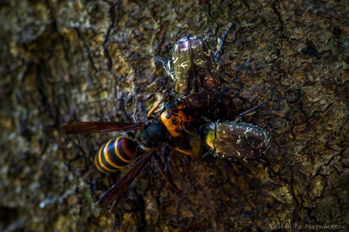シロテンハナムグリとコガタスズメバチの写真