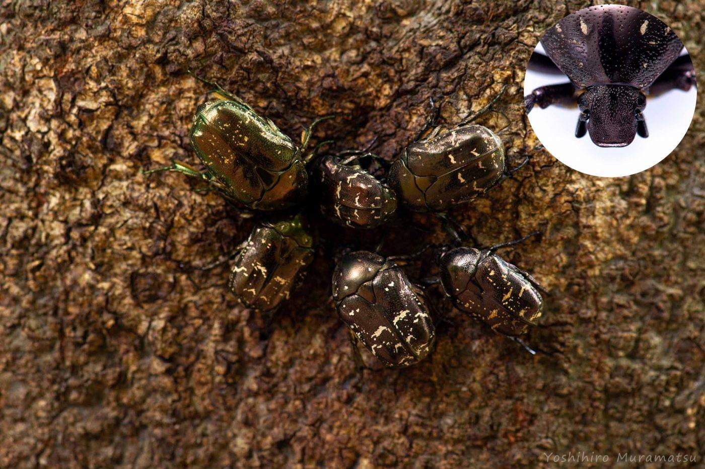シラホシハナムグリの写真