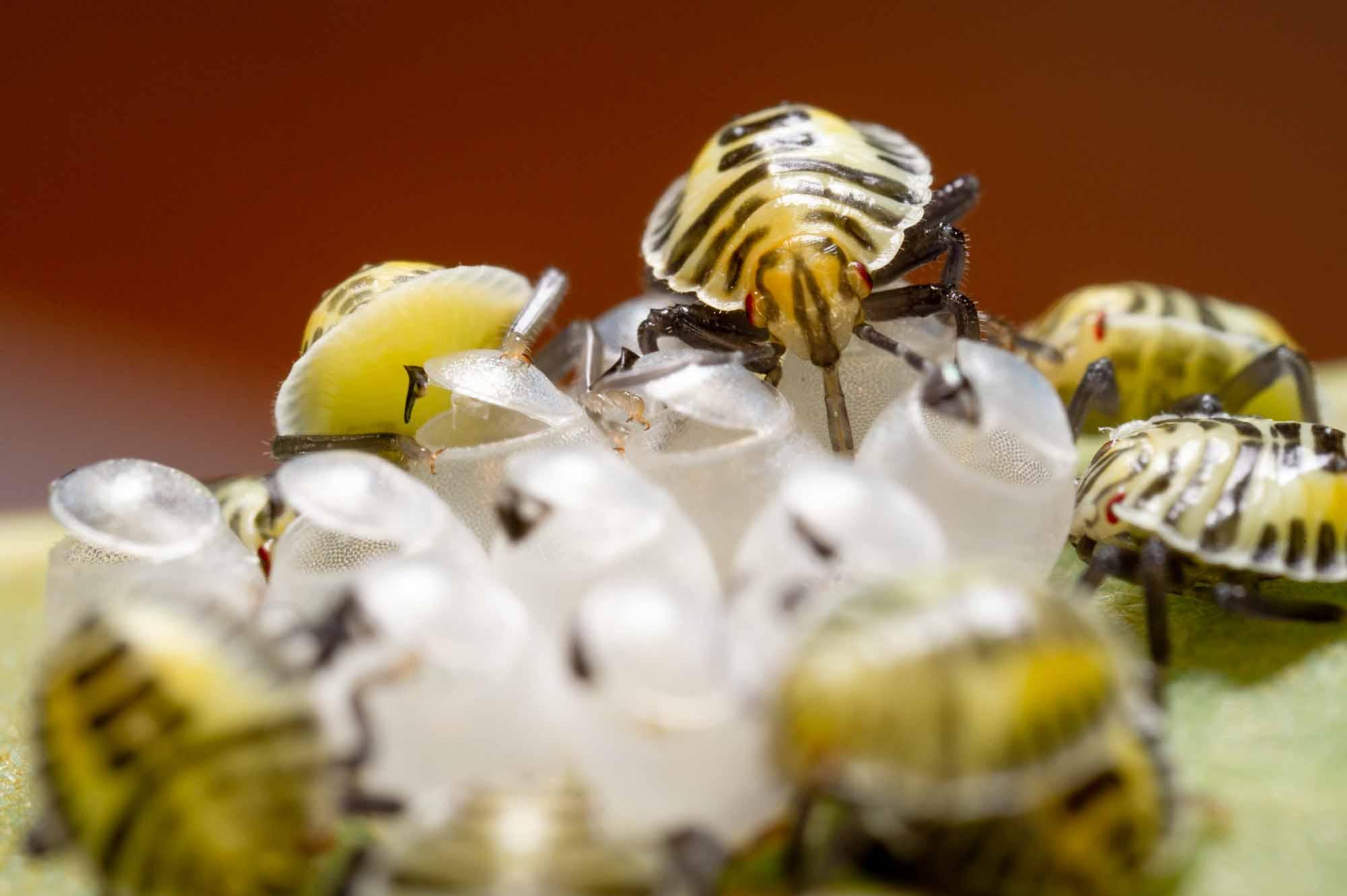 キマダラカメムシの写真
