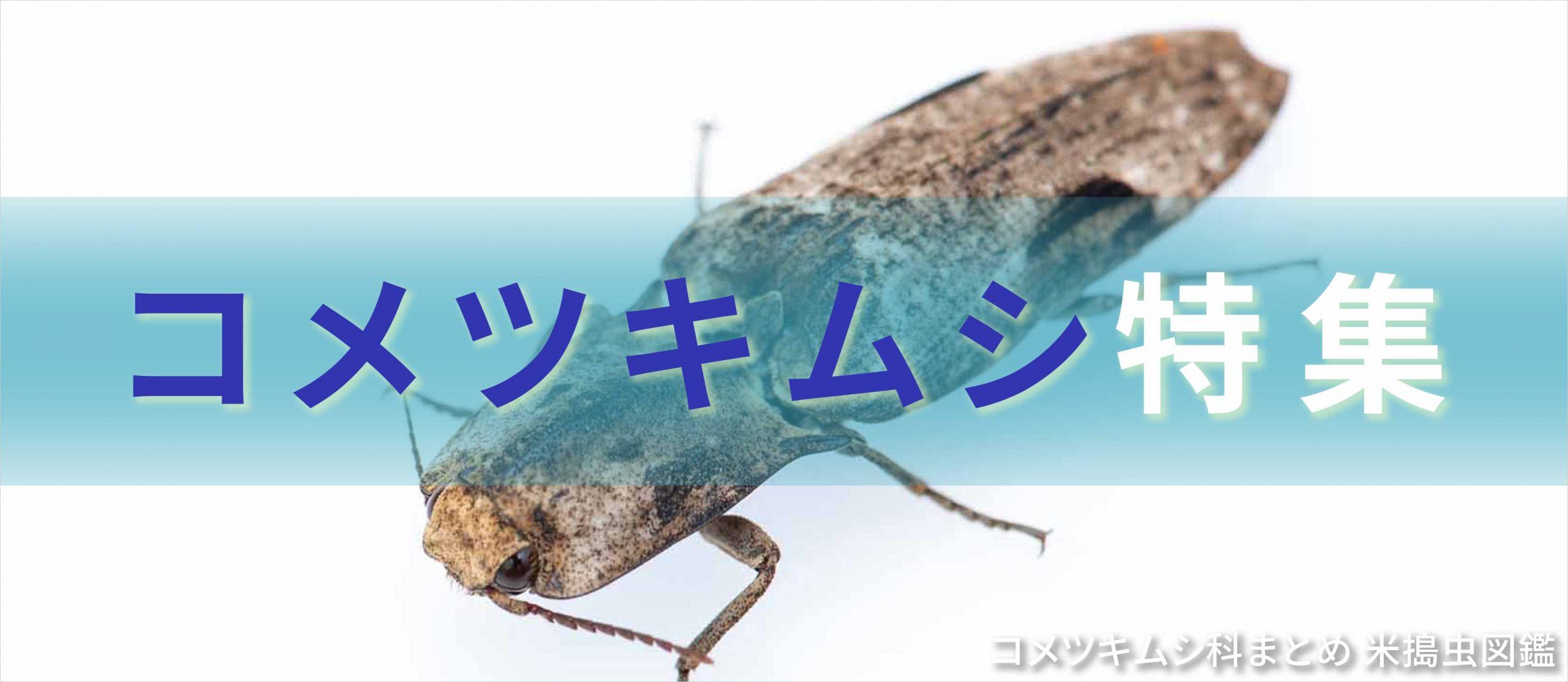 コメツキムシ特集のバナー画像