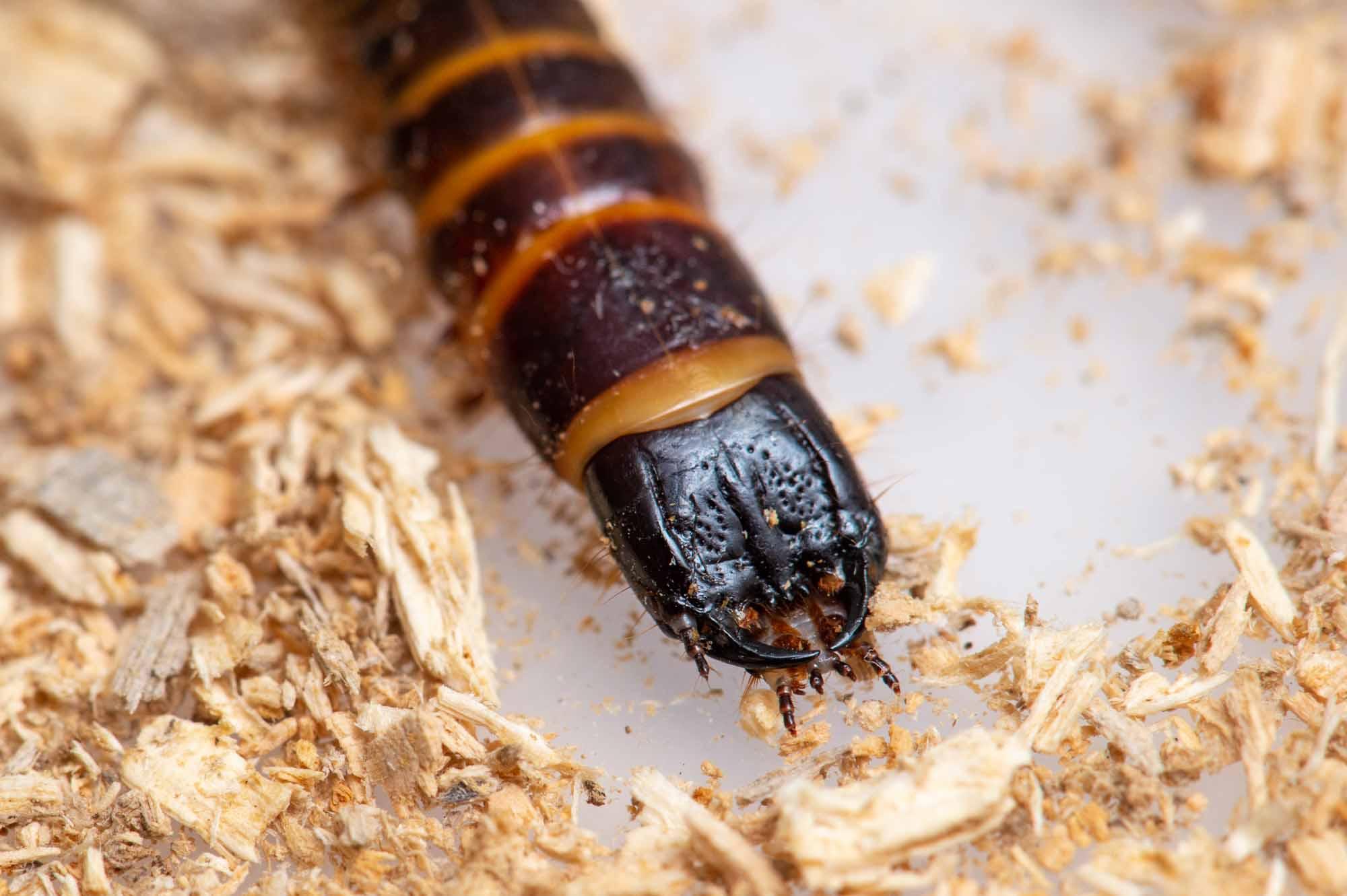 コメツキムシの幼虫の写真