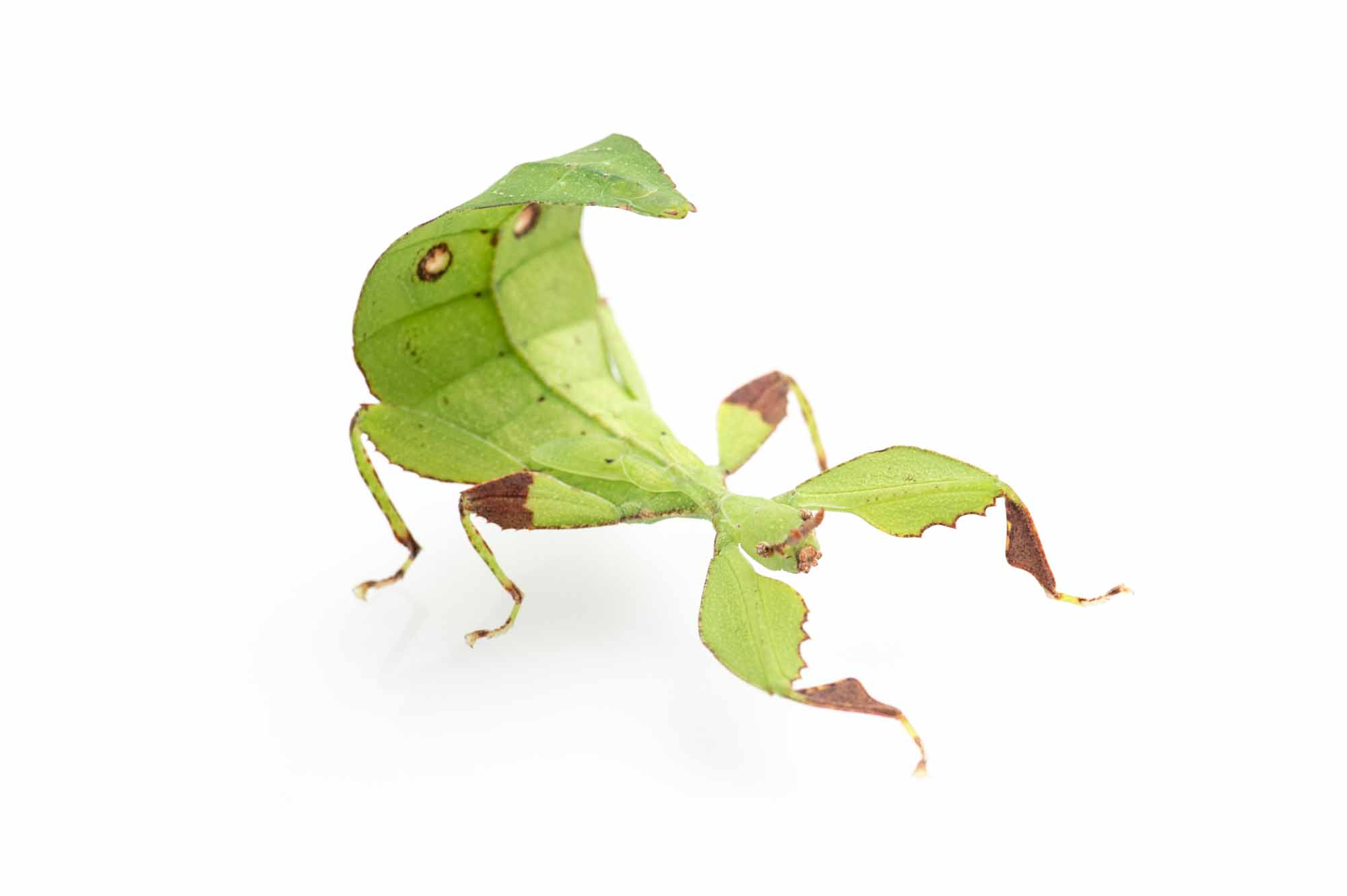 コノハムシの写真