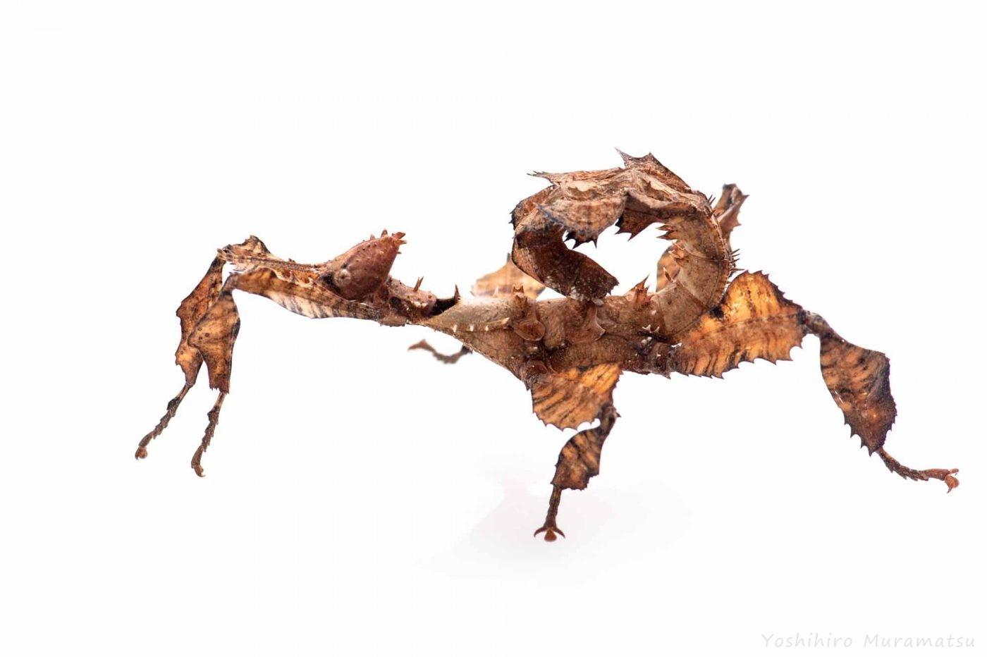 ユウレイヒレアシナナフシの写真