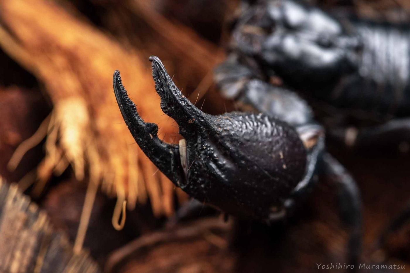 アジアンフォレストスコーピオン(チャグロサソリ)の写真