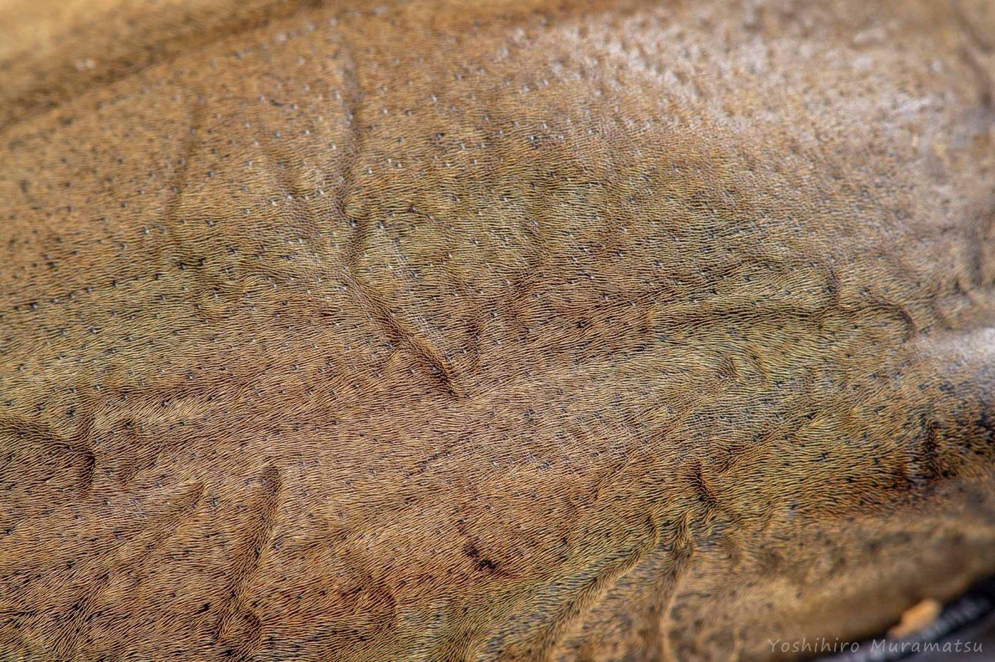 エレファスゾウカブトの写真