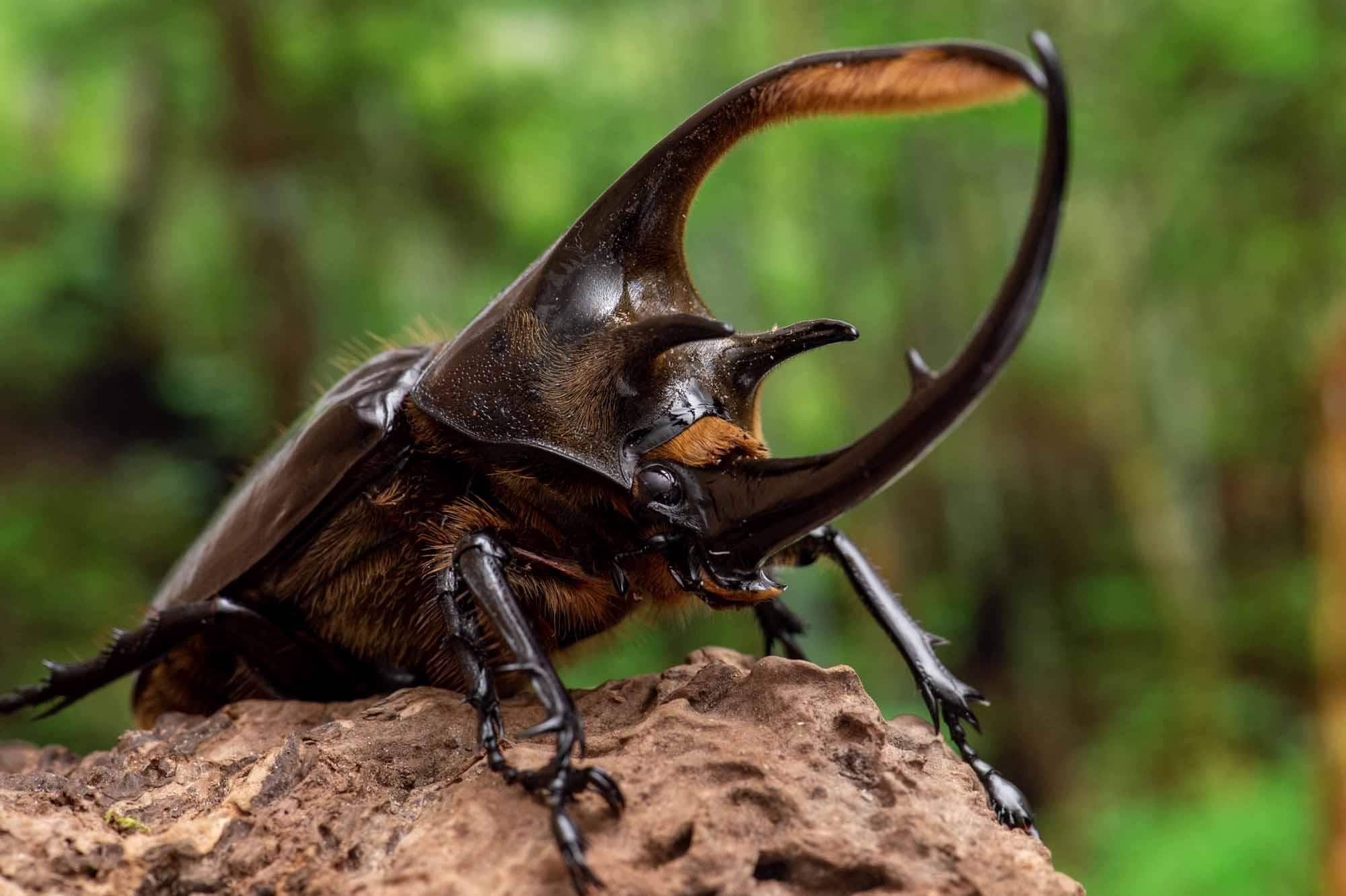 ネプチューンオオカブトの写真