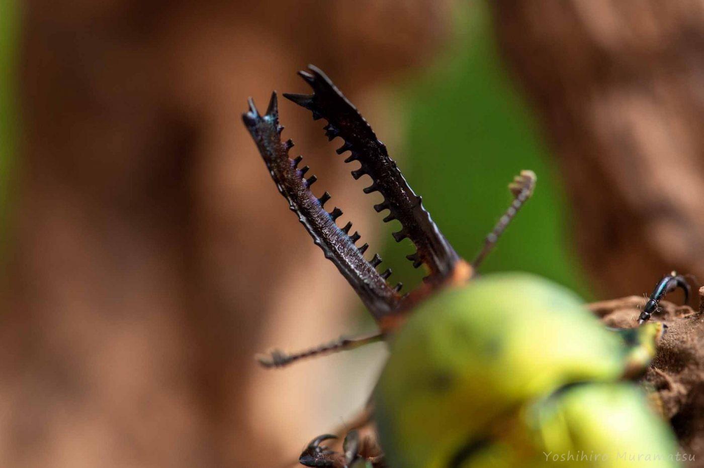 パプアキンイロクワガタの写真
