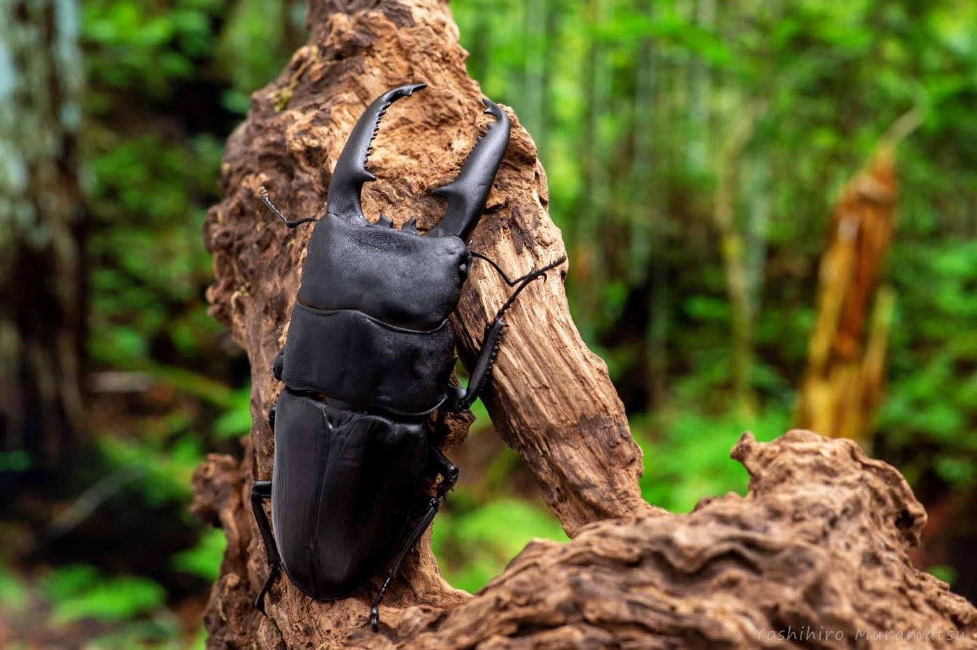パラワンオオヒラタクワガタの写真