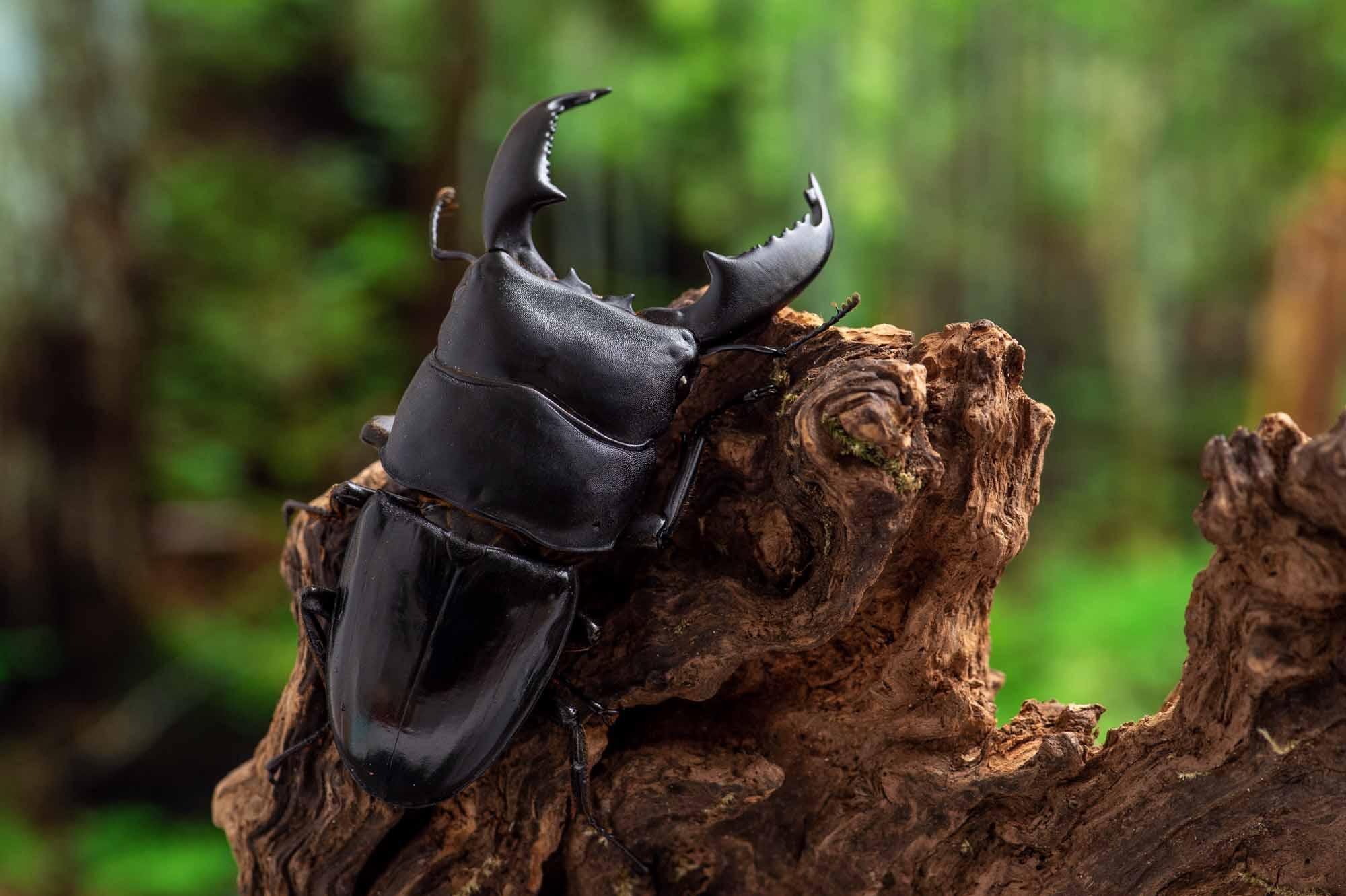 スマトラオオヒラタクワガタの写真