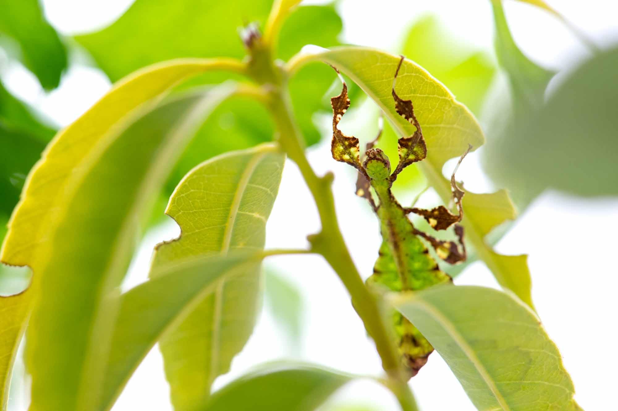 オオコノハムシの写真