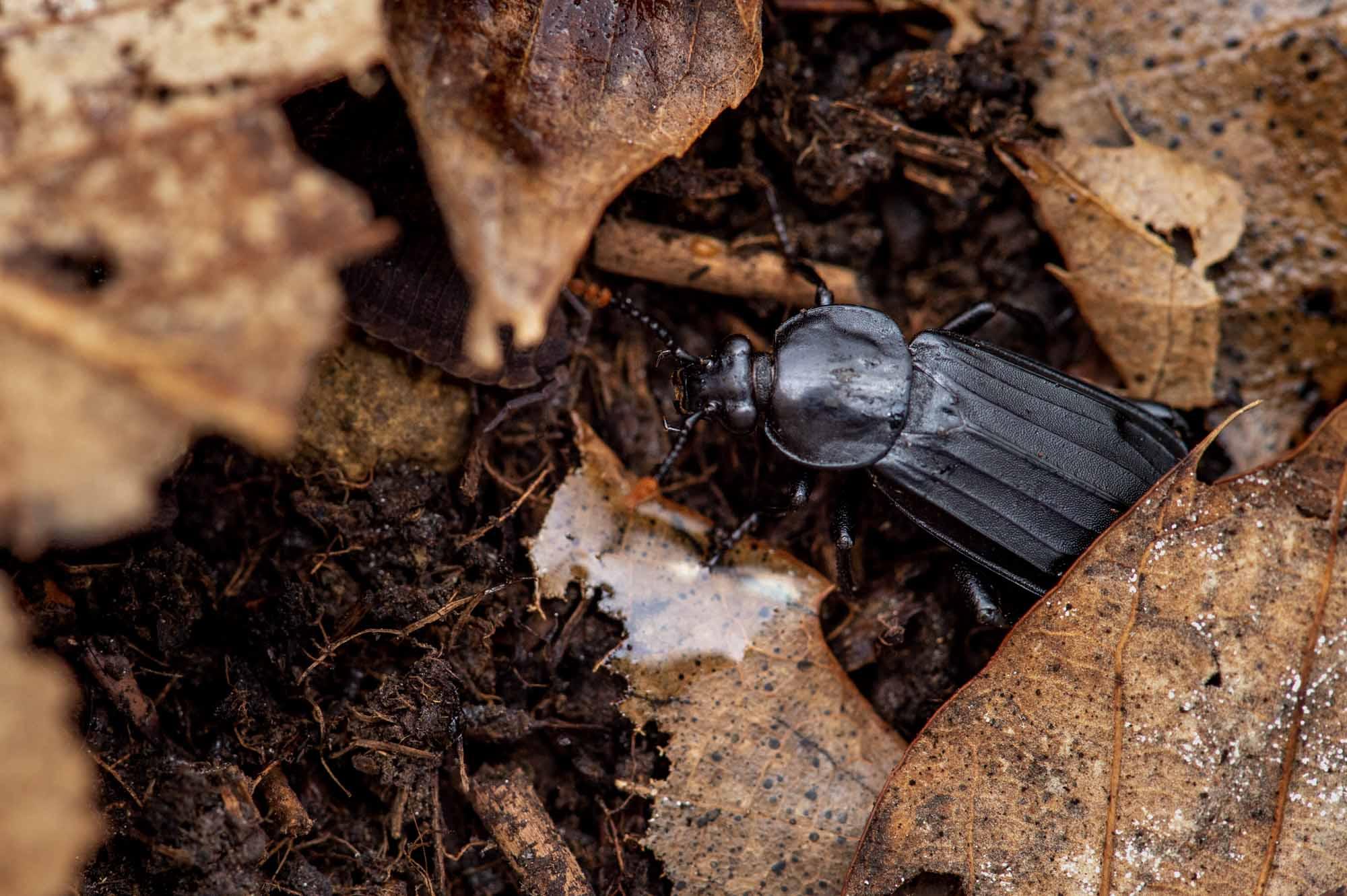 オオモモブトシデムシの写真