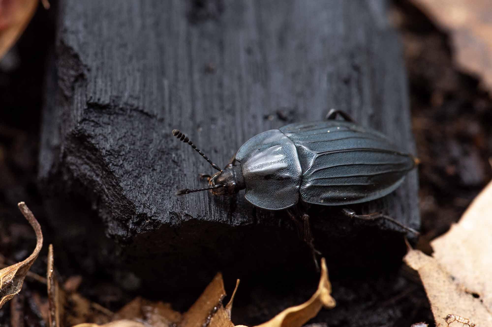 オオヒラタシデムシの写真