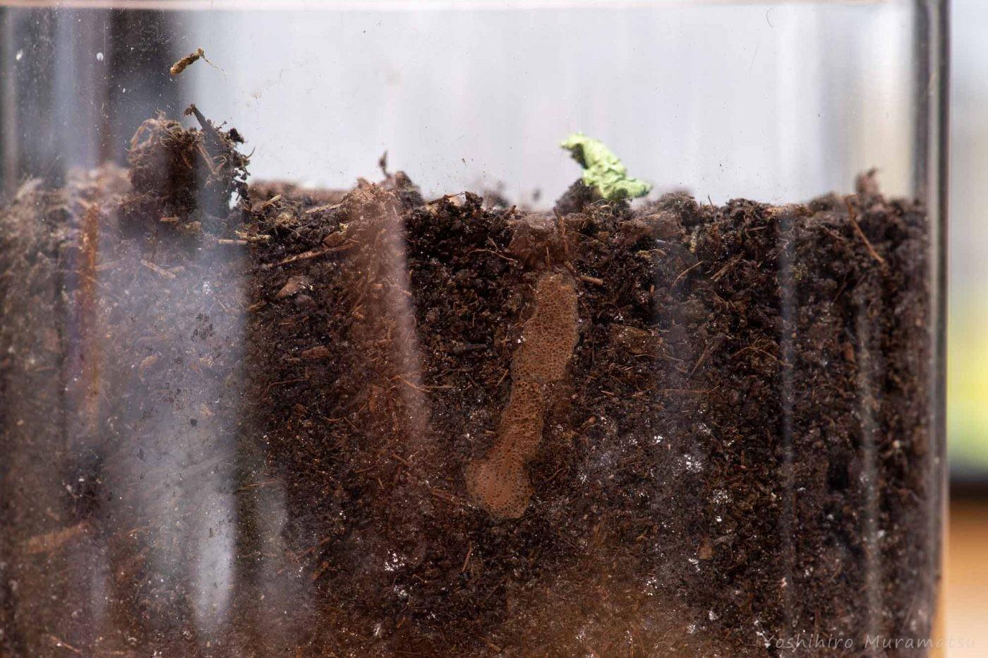 アカハネオンブバッタの卵の画像