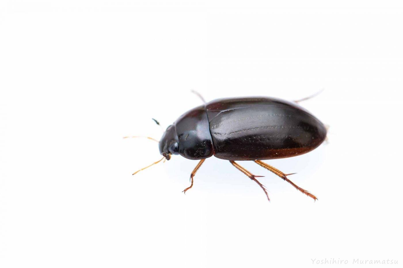 コガムシの写真