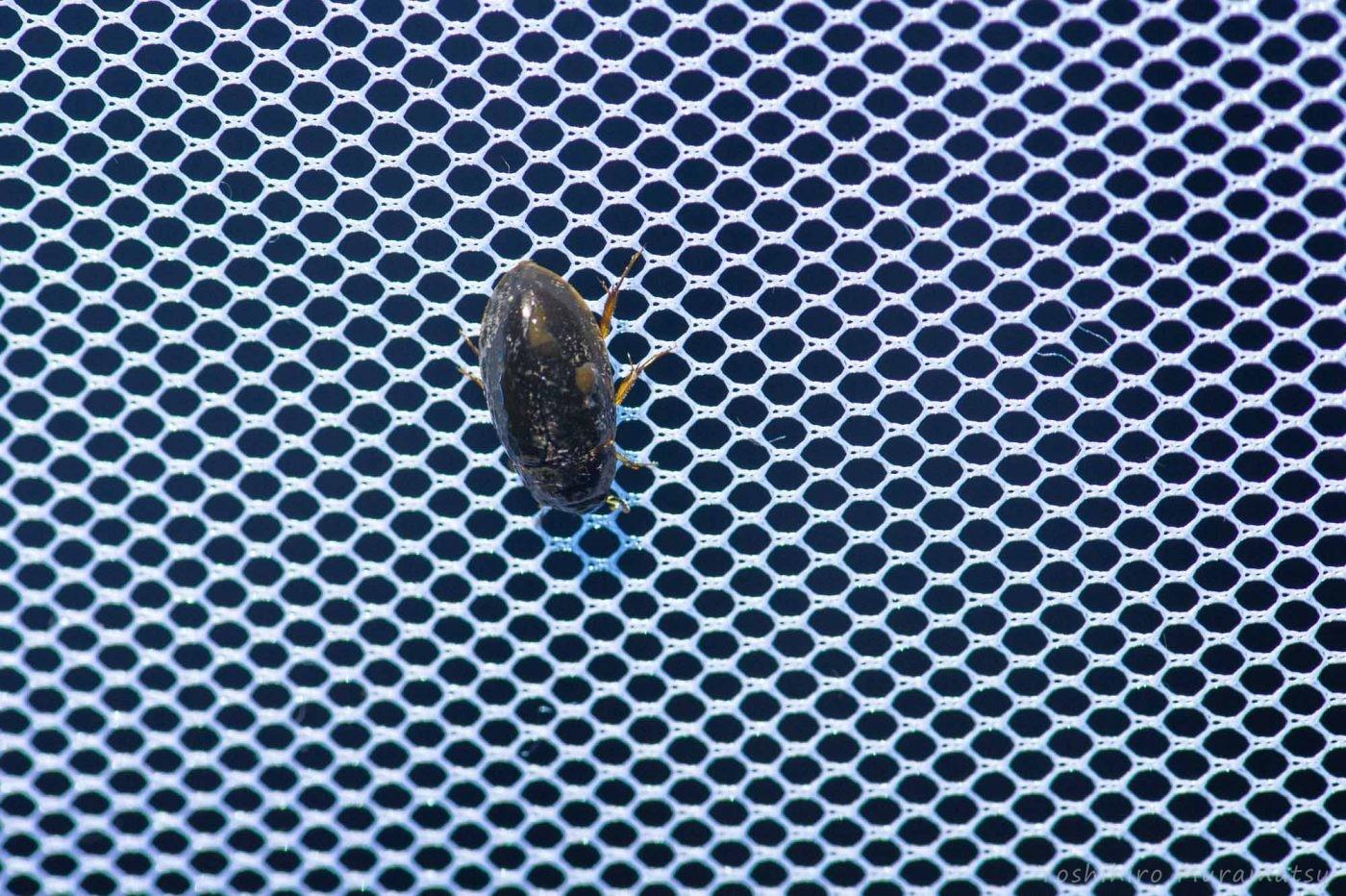 ヒメガムシの写真