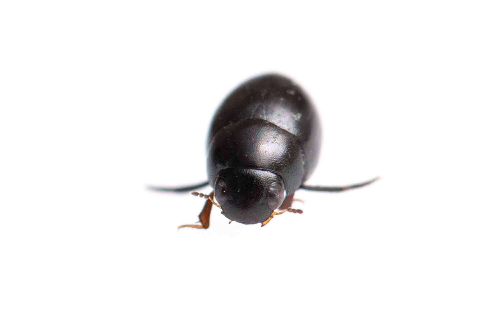 マメガムシの写真