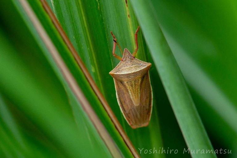 エビイロカメムシの写真